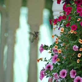 DSC_0265 hummingbird
