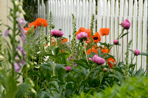 poppies___thistles__588_